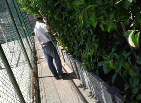 Mattinata variegata